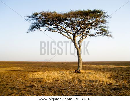 Lonely african tree