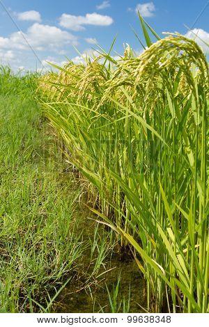 Rice plants bending