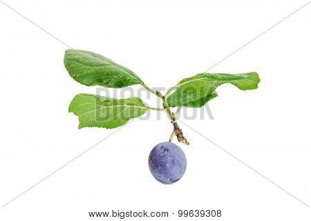 Plum On A Branch Closeup On A Light Background