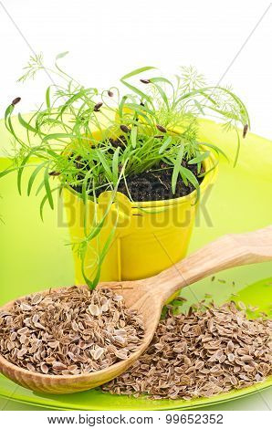 Dill In Pot And Dill Seeds In A Wooden Spoon