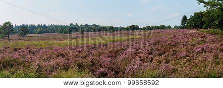 Panorama Of Moorland In Full Bloom