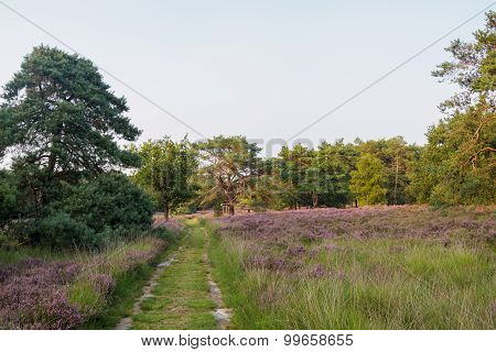 Peaceful Path Leading Through Trees And Heathland