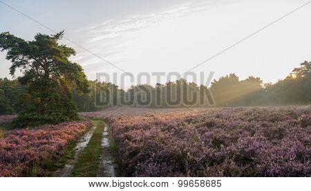 Panoramic Sunrise Over Dutch Heathland