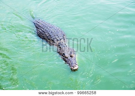 American crocodile (Crocodylus acutus) in a lake