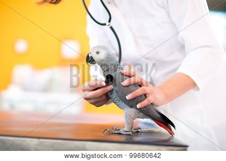 Medical examination of African grey parrot with stethoscope in vet clinic