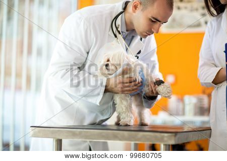 Pekinese with protective cone receiving bandage for hurt paw