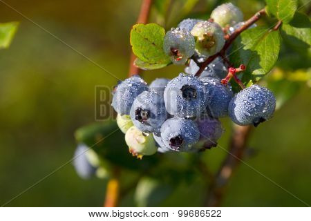 Juicy, Dew Covered Blueberries Ripening In Summer