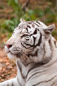 White Bengal Tiger in a winter zoo poster
