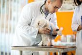 Pekinese with protective cone receiving bandage for hurt paw poster