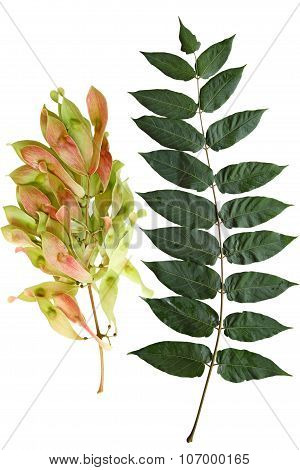 Ailanthus Altissima Tree of Heaven leaf and Fruit isolated on white background poster