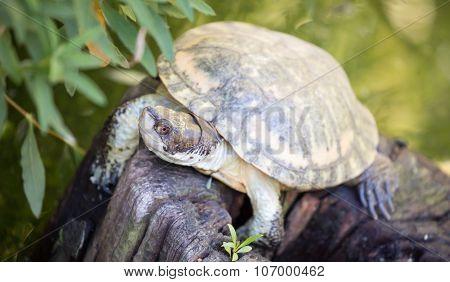 Western Pond Turtle (Actinemys marmorata or Emys marmorata)