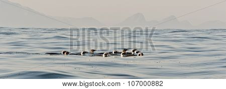 Swimming Penguins.