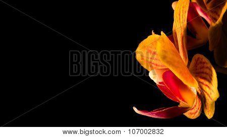 Orchid Petals