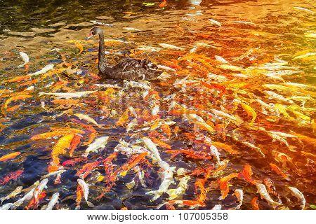 Black Swan In The Pond With Japanese Koi Fish, Thai Village, Loro Parque, Tenerife
