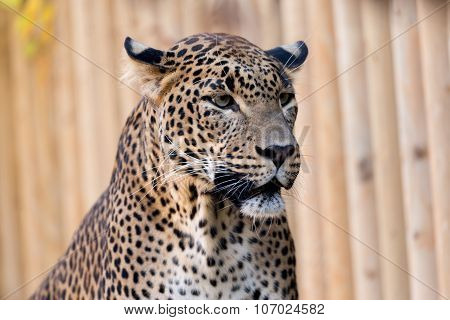 Closeup Of Leopard Looks Forward