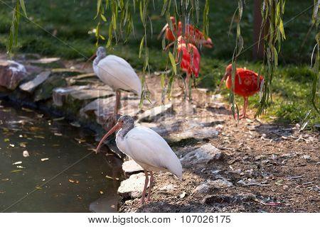 White Ibis (eudomiscus Albus)