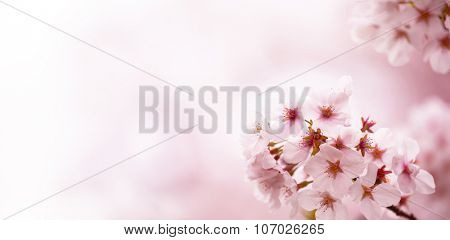 Beautiful cherry blossom under warm spring light with pastel pink background fading into white. Wide dimension.