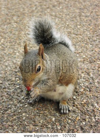 Squirrel Nibbling On Strawberry