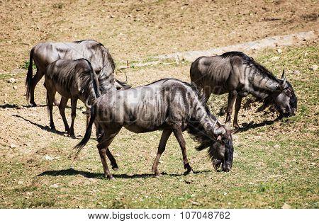Blue Wildebeest (connochaetes Taurinus) Graze, Animal Scene