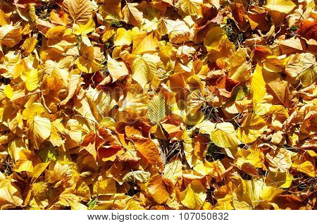 Overhead View Vivid Autumn Leaves On Linden Trees