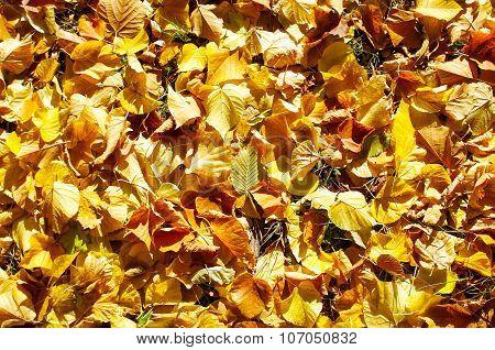 Overhead View Vivid Autumn Leaves On Linden Trees