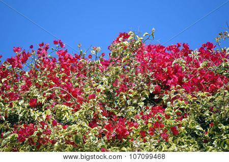 A Bougainvillea spectabilis flowering outside in Portugal poster