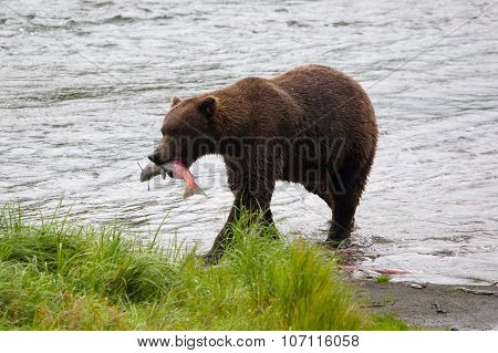Brown bear eating fish