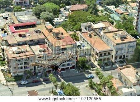 The American vultures (Cathartidae Lafresnaye) soars over Havana Cuba. Birds eye view over city of HavanaCuba. poster