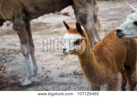Alpaca Eating Grass in the Farm. Alpaca, Australia.