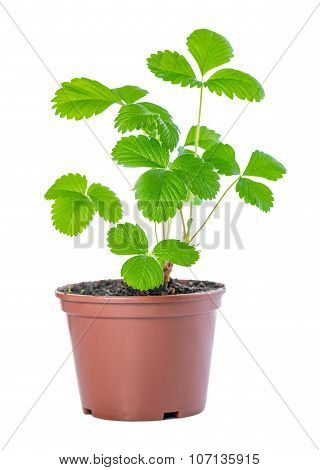 Spring Bush Of Sapling Sprout Strawberry Plant In Plastic Pot Is Isolated On White Background (fraga