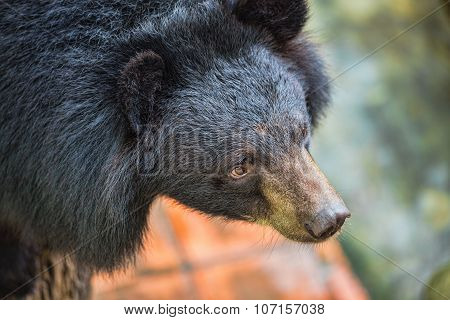 Asiatic black bear Tibetan black bear Ursus thibetanus large tropical asian bear with black fur and white V shape fur on the bust poster