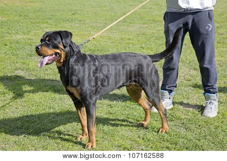 Female Rottweiler Specimen At An Exhibition