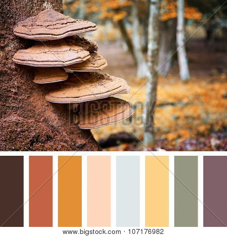 Bracket fungus growing on the stump of a beech tree, autumn tones, in the New Forest, Hampshire, UK. In a colour palette with complimentary colour swatches.