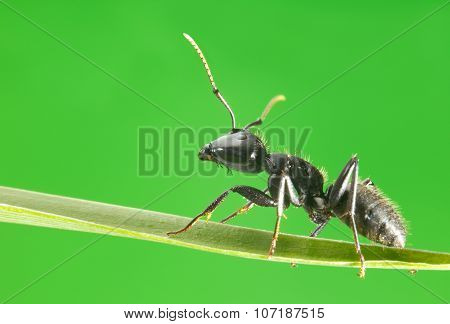 Macro Of Ant Walking On Grass