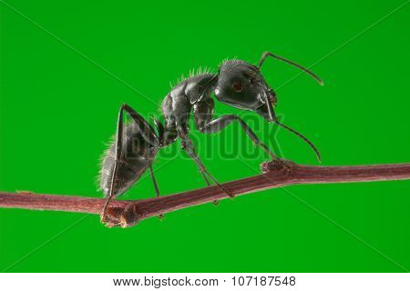 Ant Stand On Twig