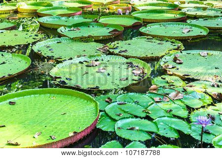 Flower of the Victoria Amazonica, or Victoria Regia, the largest aquatic plant in the world in Belem do Para, Brazil