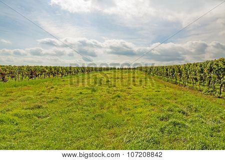 Green Meadow Between Vine Stocks