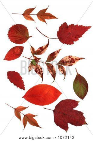 Natural Red Leaves
