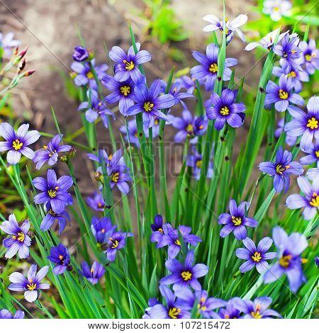Sizirinhium angustifolia (Latin Sisyrinchium angustifolium). A perennial herb of the family Iris (Ir