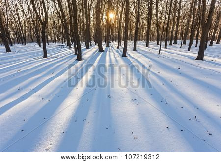 The sun shines through the trees in the winter forest