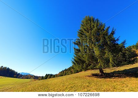 Large Pine Tree In Autumn - Trentino Italy