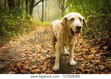Old yellow Labrador Retriever in autumn