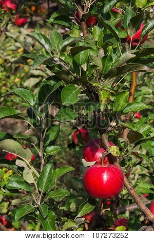 Branch With Apples And Leaves Disease Scab Closeup