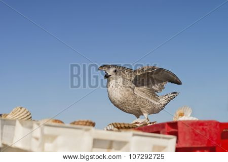 Young herring gull (Larus Argentatus) landing on a crate filled with freshly fished scallops