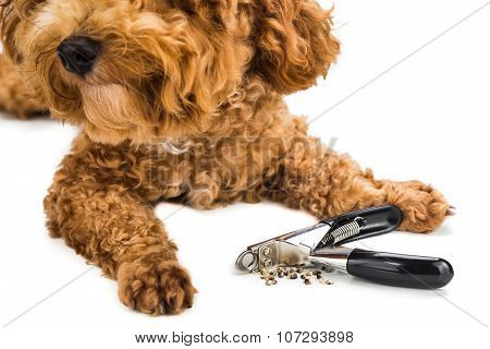 Nails Clipped During Gromming With Clipper And Dog As Background