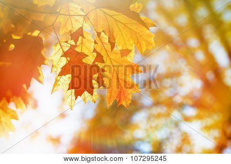 Oak leaves - beautiful autumn leaves