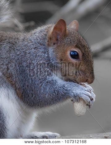 grey or gray squirrel