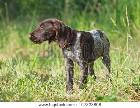 Puppy of breed German Pointer
