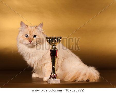 Siberian cat on golden background