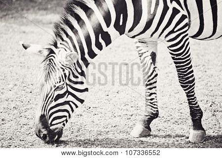 Black and White Photography of Zebra Eating Grass